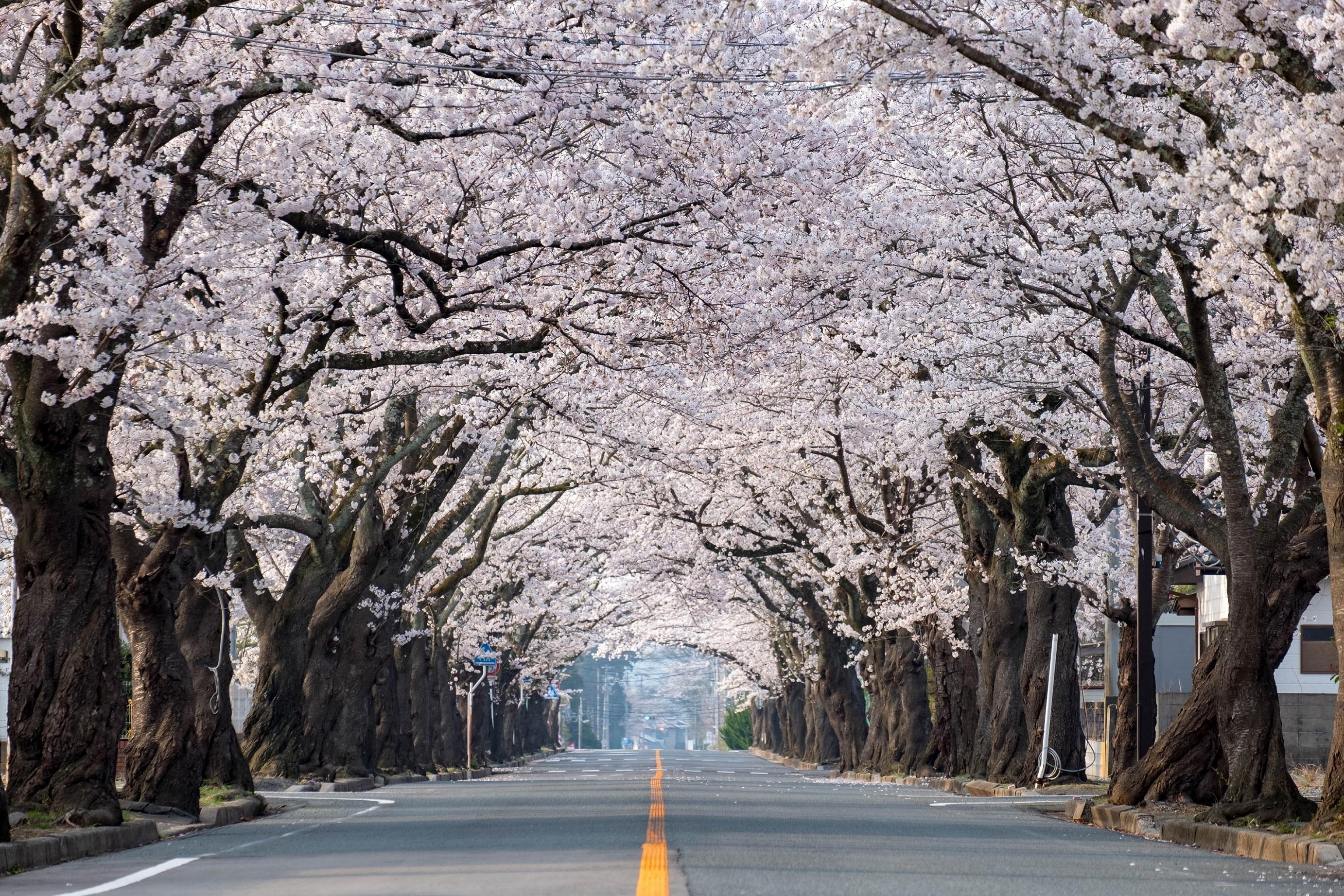 福島 富岡町 夜の森 桜並木
